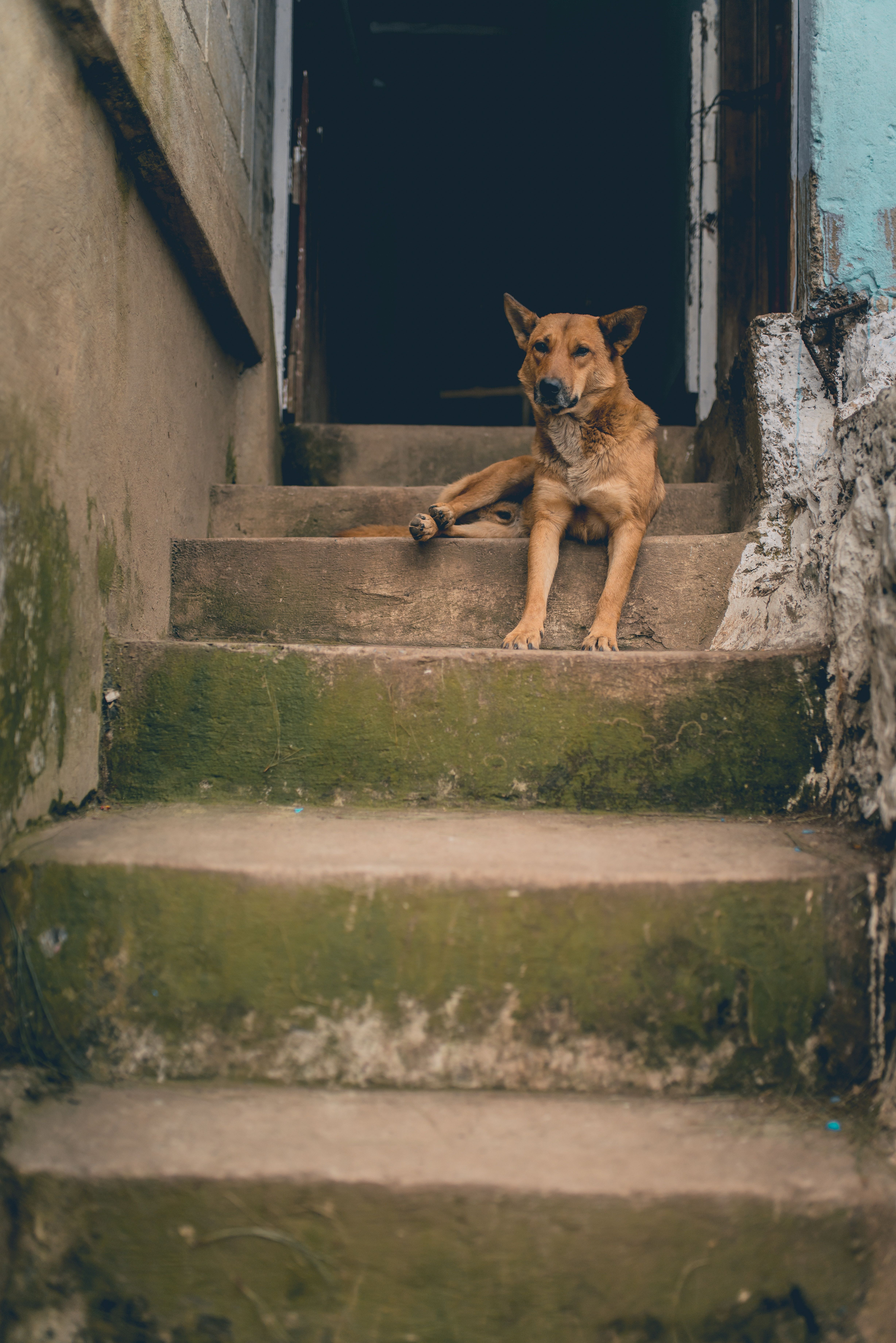 brown dog laying on staircase, NIKON CORPORATION, NIKON