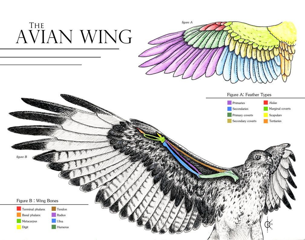 Avian Wing Anatomy by atethirteen on DeviantArt | Birds | Pinterest ...