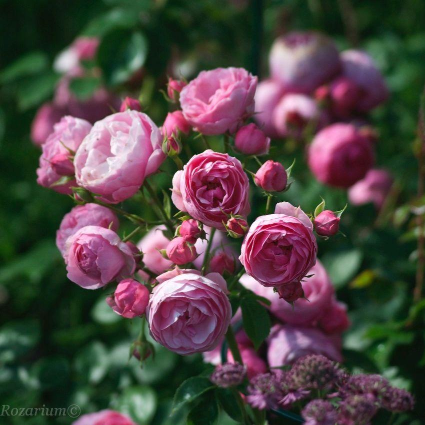Roza Madame Francois Graindorge Donica C3 Gorgeous Gardens Flowers Flower Garden