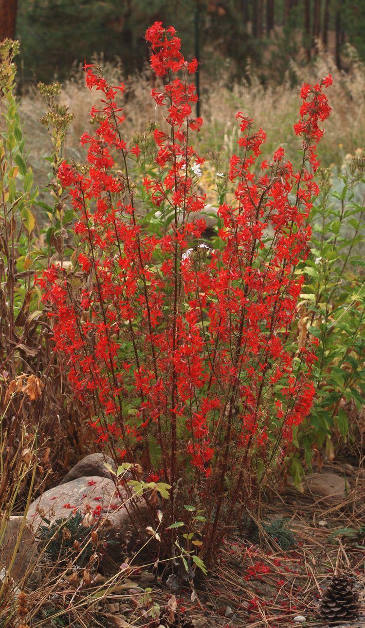 Scarlet Gilia (Ipomopsis aggregata) | Blackfoot Native Plants | New ...