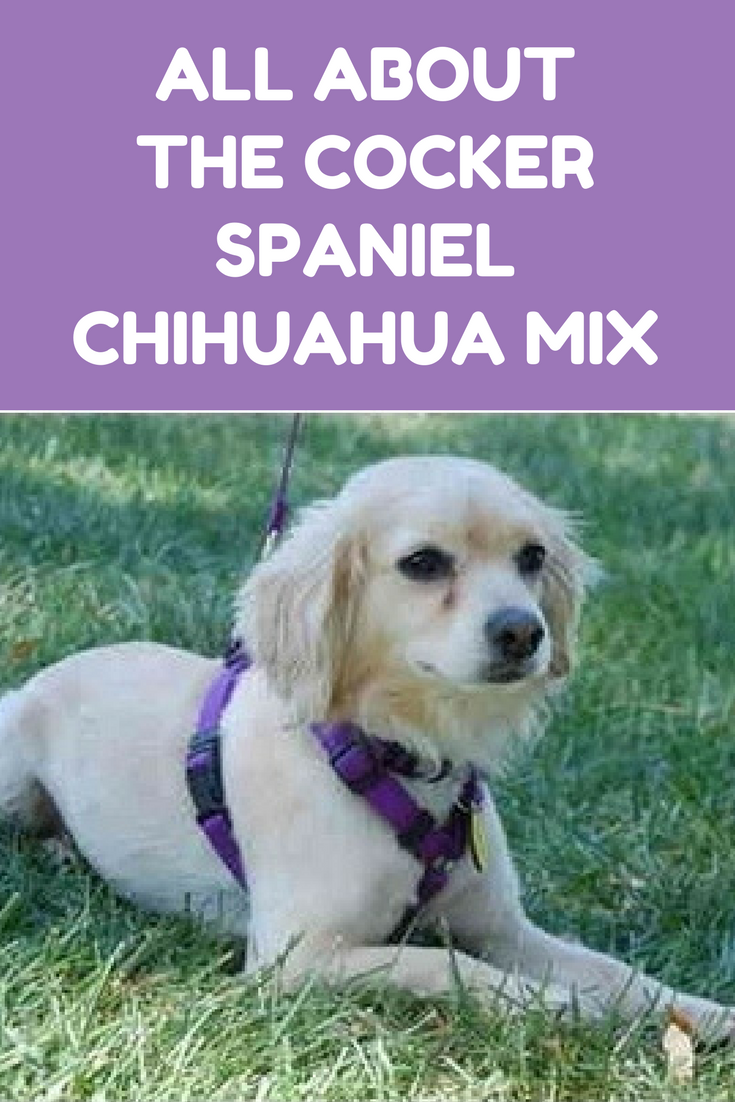 The Truth About The Cocker Spaniel Chihuahua Mix How To Train Your Dog Chihuahua Mix Cocker Spaniel Cocker Spaniel Mix