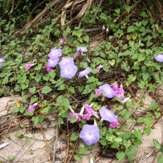 Common Morning Glory Ipomoea Purpurea Scrambles Over And Competes With Other Species It Is An Annual Plant Annual Plants Invasive Species Invasive Plants