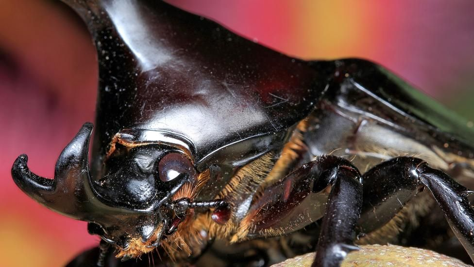 BBC - Earth - Face-to-face with 11 amazing beetles