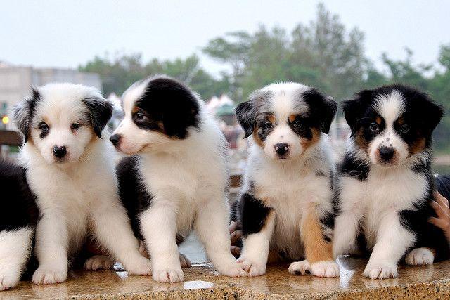 7 Week Old Aussie Pups Berger Australien Animaux Chiot