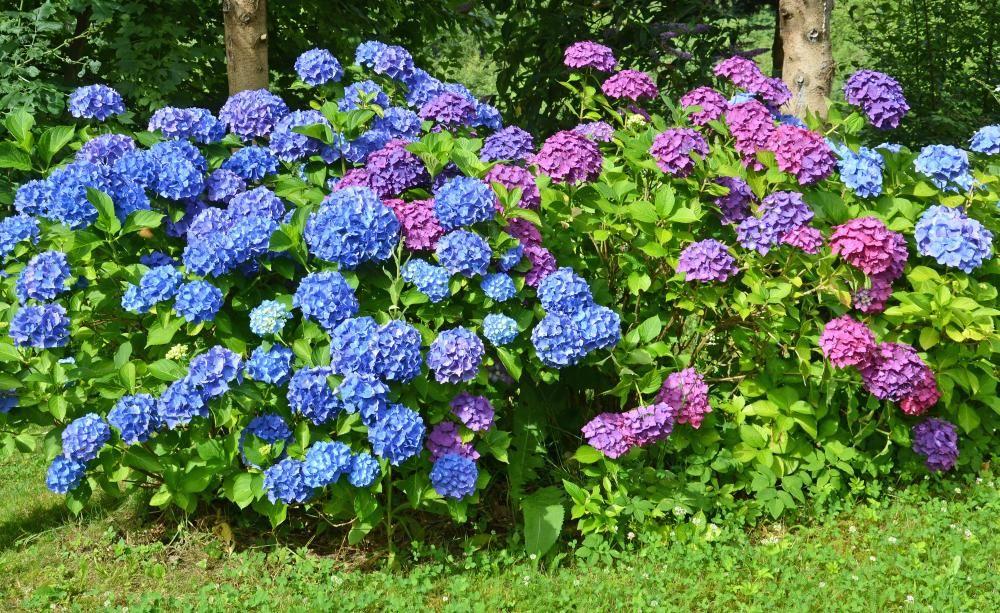 Hortensien Richtig Schneiden | Garten Hortensien Pflege Lernen Sie Wie Sie Ihre Zimmerpflanzen Pfoegen