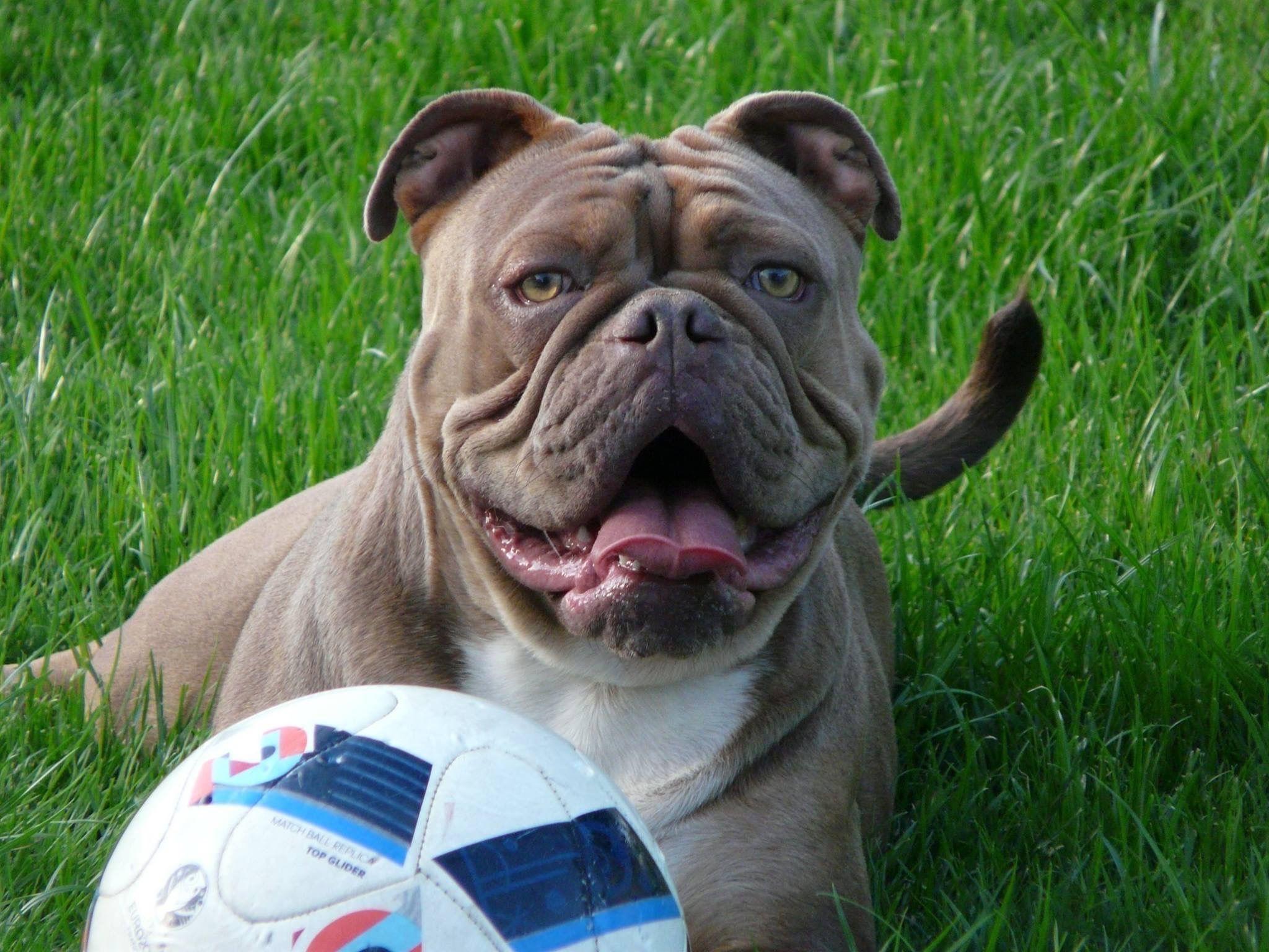 Pin Von Awa Origins Auf Awa Origins Old English Bulldog Englische Bulldogge Bulldogge