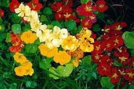 I love Nasturtiums.  Great in the garden, though they do attract aphids.  Easy to grow (good starter plant for kids) and good to eat.  Toss 'em in a salad, make capers, vinegar, avocado dip, lots of recipes on the net.  Here are a few.