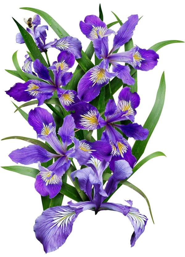 Wild Blue Iris Flower Seeds Iris Missouriensis Iris Flowers Blue Iris Flowers Flower Seeds