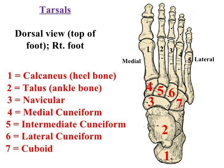 Tarsal Bone Orthopaedic Pinterest Anatomy Medical And School