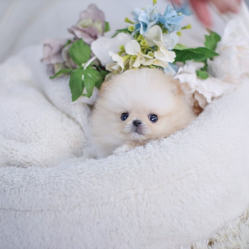 Pin On Parti Colored Pomeranian Puppies