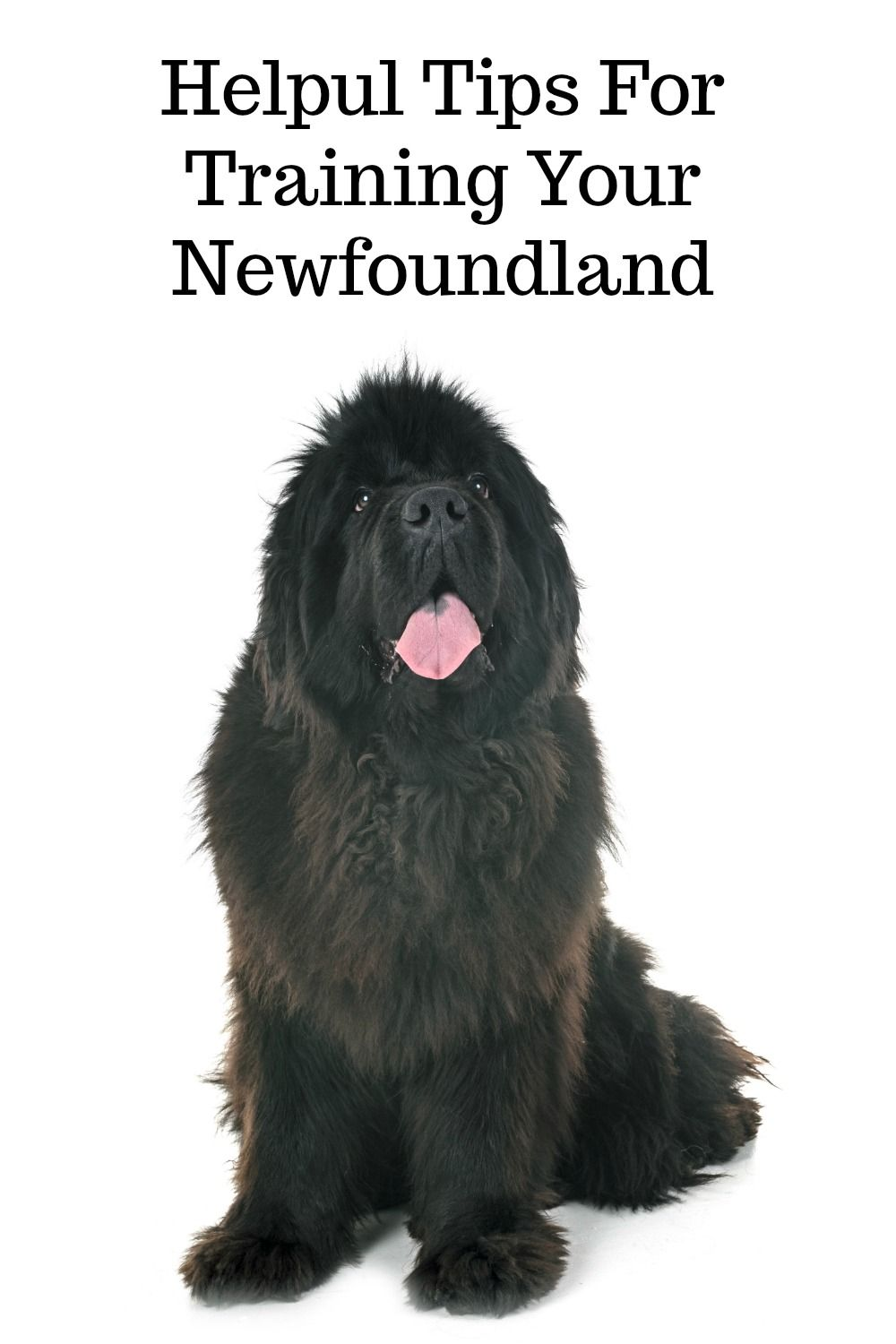 10 Tips For Training Your Newfoundland Dog My Brown Newfies