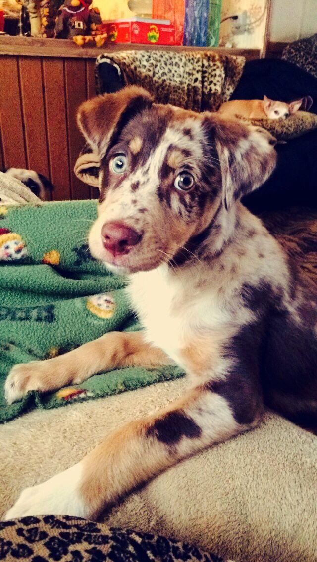 Aussiedor Labrador X Australian Shepherd Dog Breeds That Dont