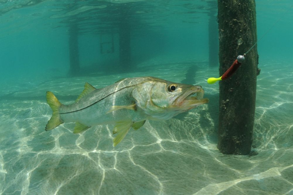 A small spawning snook tracks a berkley powerbait at high for Snook fishing lures