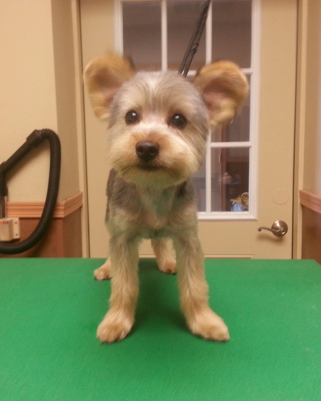 Yorkie hairstyles short hairstyle haircuts - Yorkie Teddy Bear Trim Puppy Cut Yorkshire Terrier Haircut Groom