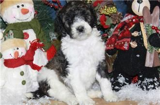Pin By Renowned Poodles On Poodle Puppies Poodle Puppies For