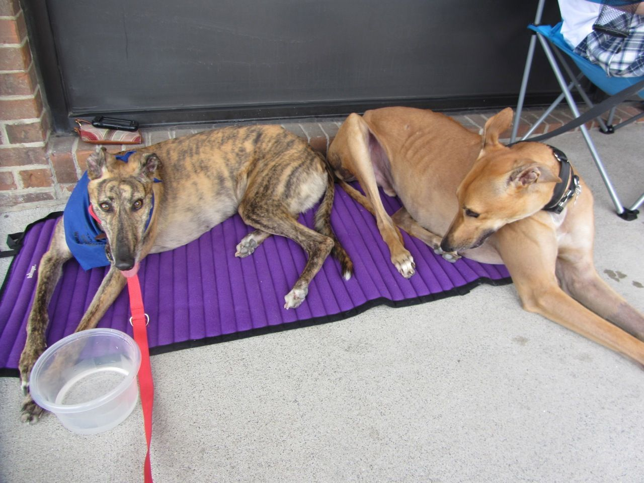 Fiona doesn't share her bed with just any greyhound. Simba