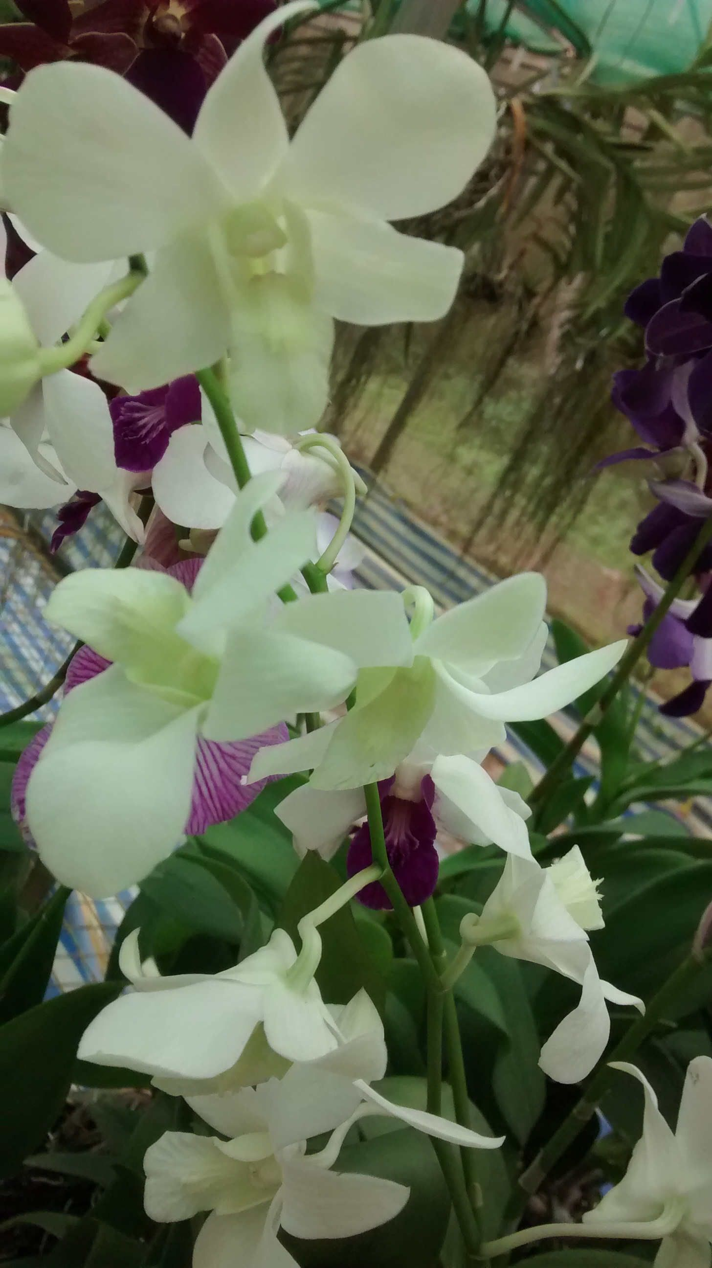 D 210716 5 Orchids And Orchid Flowers Klairvoyant Orchids Thrissur Kerala India Orchid Flower Orchids Plants Online