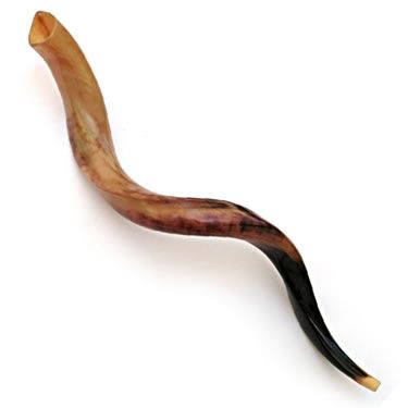 ~J   large Yemenite Polished shofar