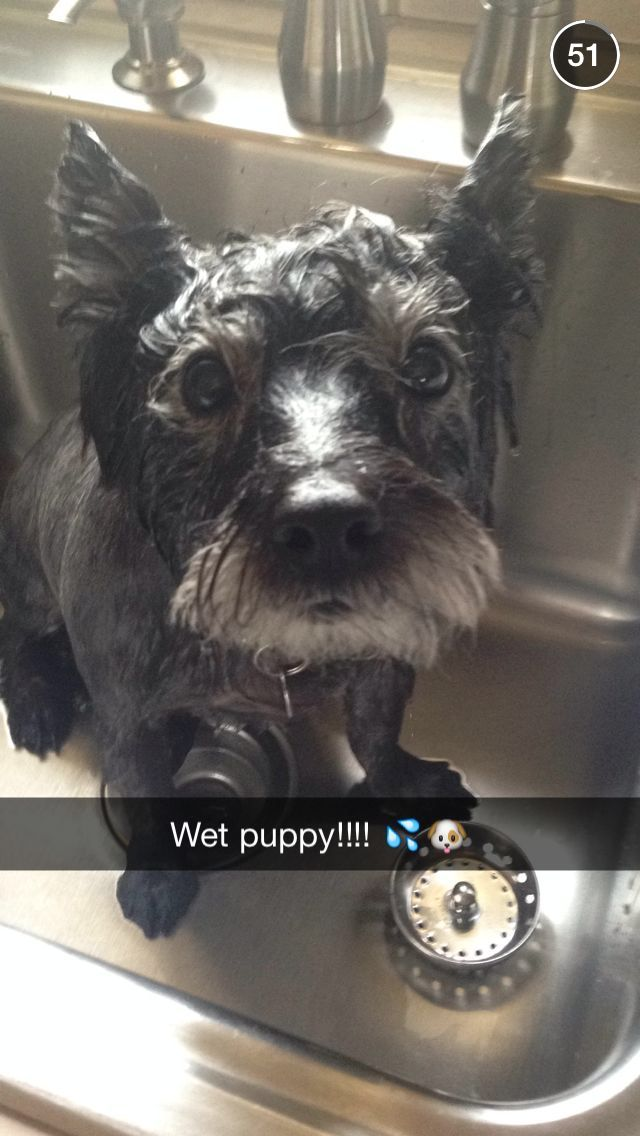Wet Cairn Terrier Wet Puppy Bath Time Big Eyes Scared Funny Humor