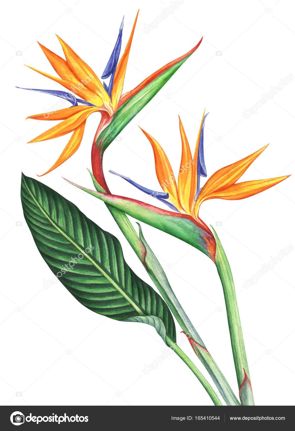 Download Watercolor Bird Of Paradise Flowers Isolated On White Background Stock Image Birds Of Paradise Flower Paradise Painting Watercolor Illustration