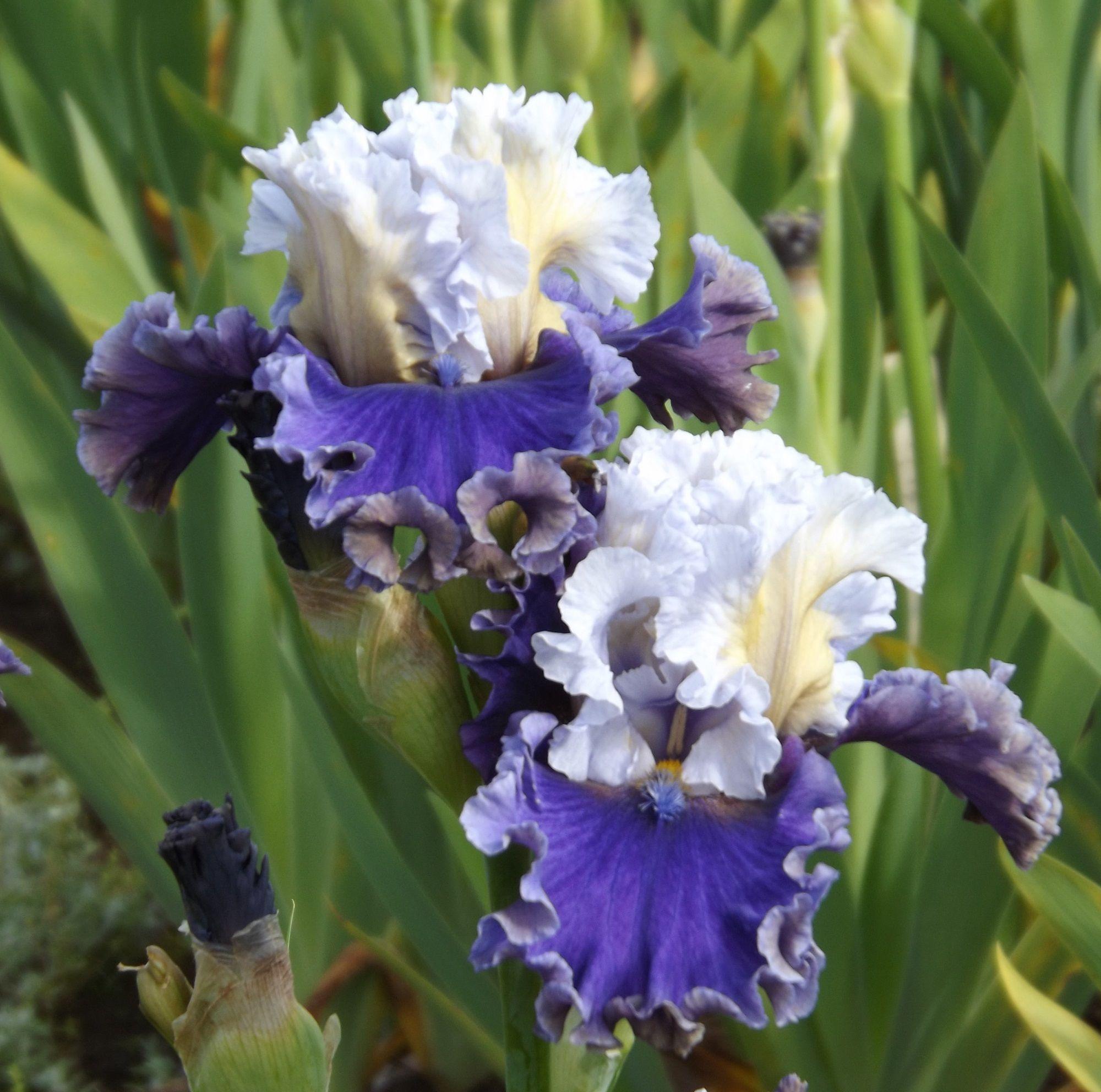 Tbespionage Tbathrue Iris Wiki Gardening Flower Pinterest Iris