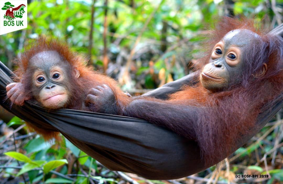 Borneo Orangutan Survival Uk On Instagram We Ve Been Asked For A Photo Of Alejandra And Topan And When We Can We Re Happy Borneo Orangutan Orangutan Borneo