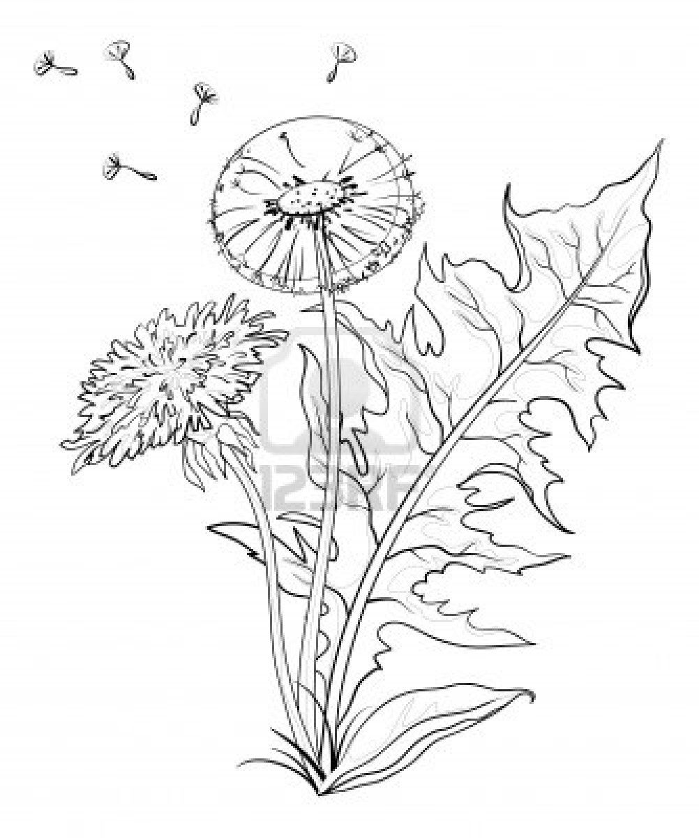 Flowers Dandelions With Leaves And Seeds Contours Vector Dandelion Drawing Flower Sketches Flower Drawing