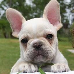 French Bulldog Nola Needs A Little Brother Baby Dogs Cute