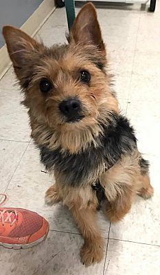 Whitehall Pa Yorkie Yorkshire Terrier Meet Berkley A Dog For