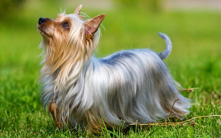Lataa kuva Australian Silky Terrier, Koira, lemmikit, vihreä ruoho, pienet koirat