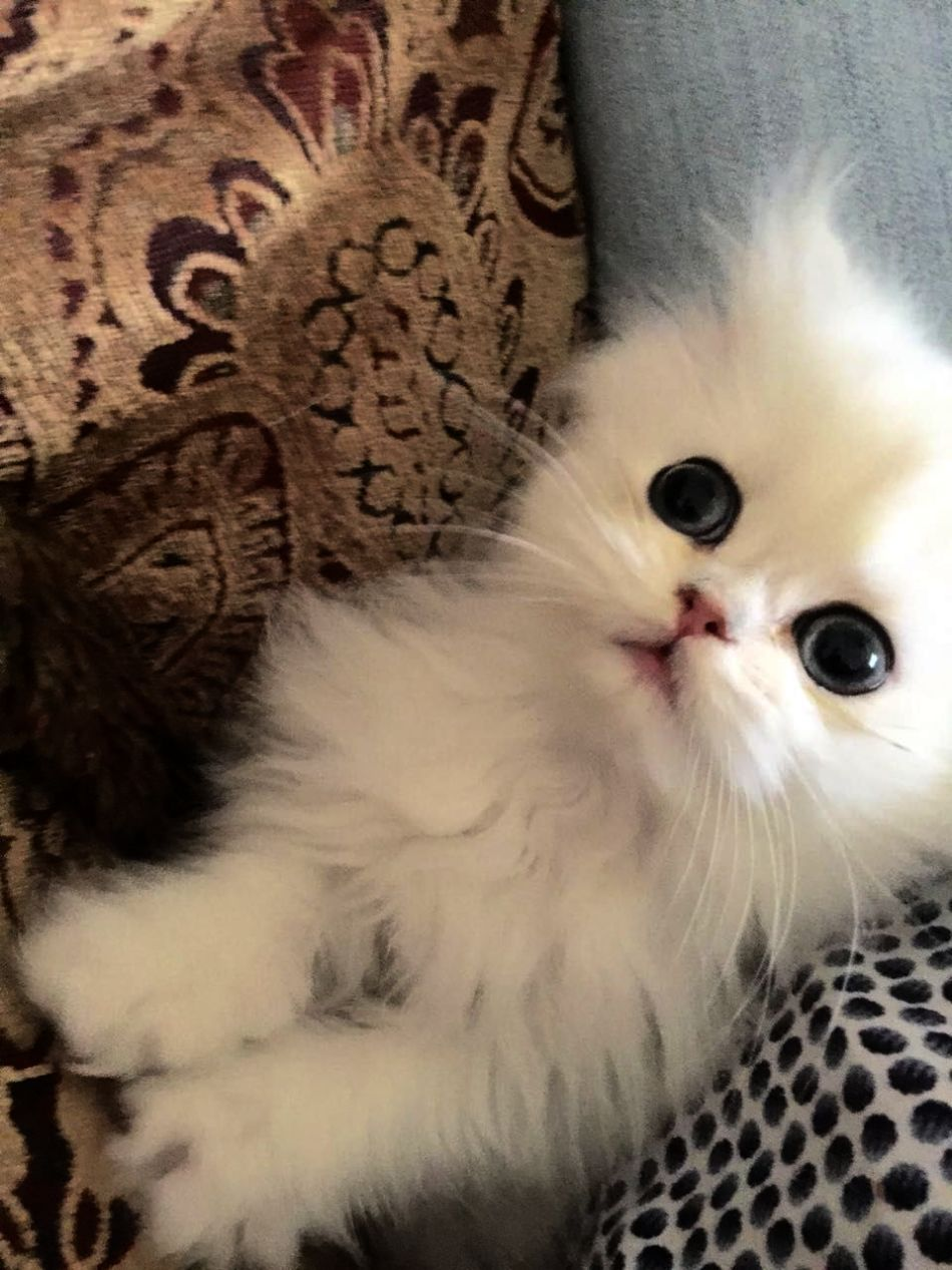 Cats And Kittens For Sale Gumtree Susan S Cats And Kittens Churchville Pa Teacup Kitten Persian Kittens Cats And Kittens