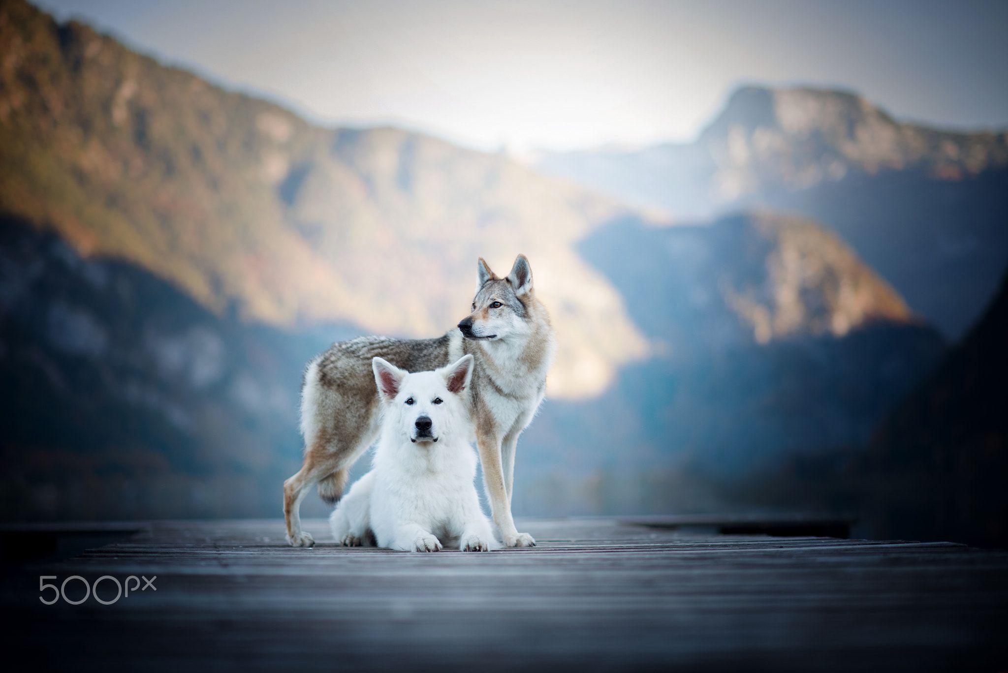 White And Wolf Null Hund Dogs Animals Weisser Schaferhund Tschechoslowakischer Wolfhund Mountains Wolf Hunde Hunde Schaferhunde