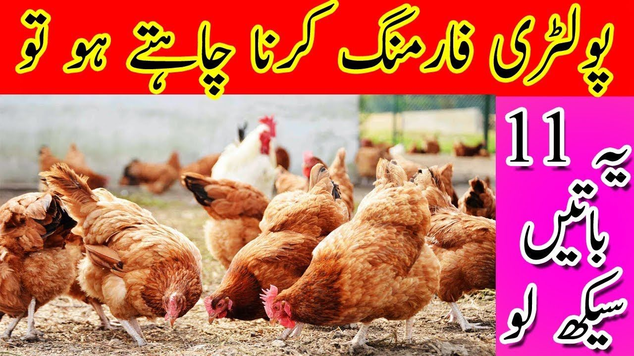 11 Secret Tips For Chicken Farming in Urdu | Chicken Farming
