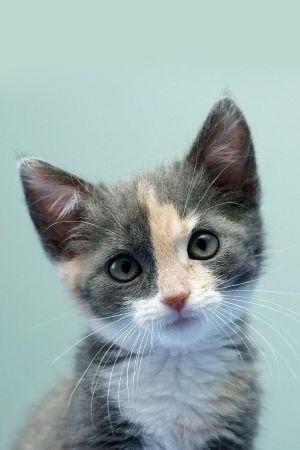calico kittens Black