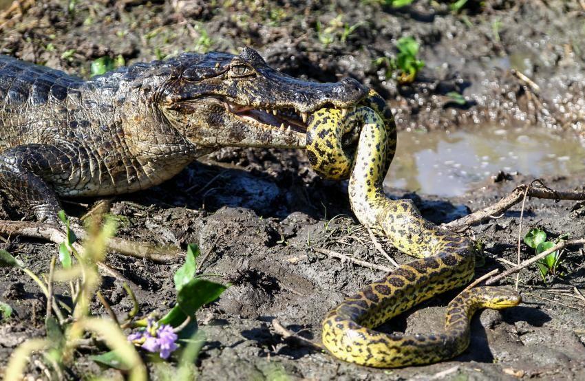 Fauna Do Pantanal Fotografados No Estado Do Mato Grosso Brasil