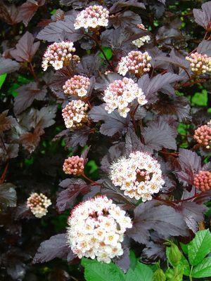 60-100 rotblättrig im Topf Blasenspiere Physocarpus opulifolius /'Diabolo/' R