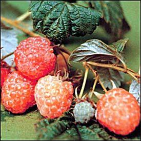 Soiuri De Zmeur Citria Pomi Fructiferi