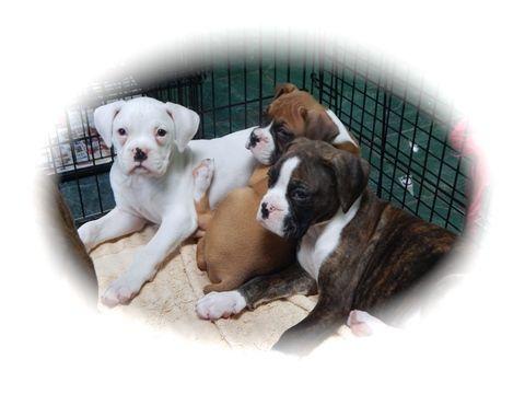 Boxer Puppy For Sale In Hammond In Adn 31153 On Puppyfinder Com