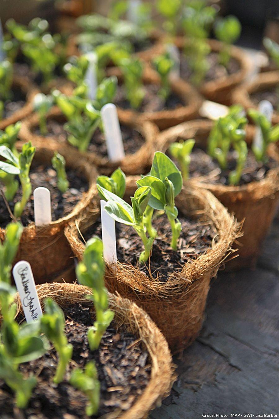 pois de senteur semis culture et plantation mes fleurs plantes et jardinage pinterest. Black Bedroom Furniture Sets. Home Design Ideas