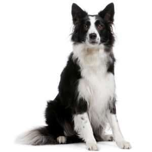 Border Collie Puppies For Sale By Reputable Breeders Collie