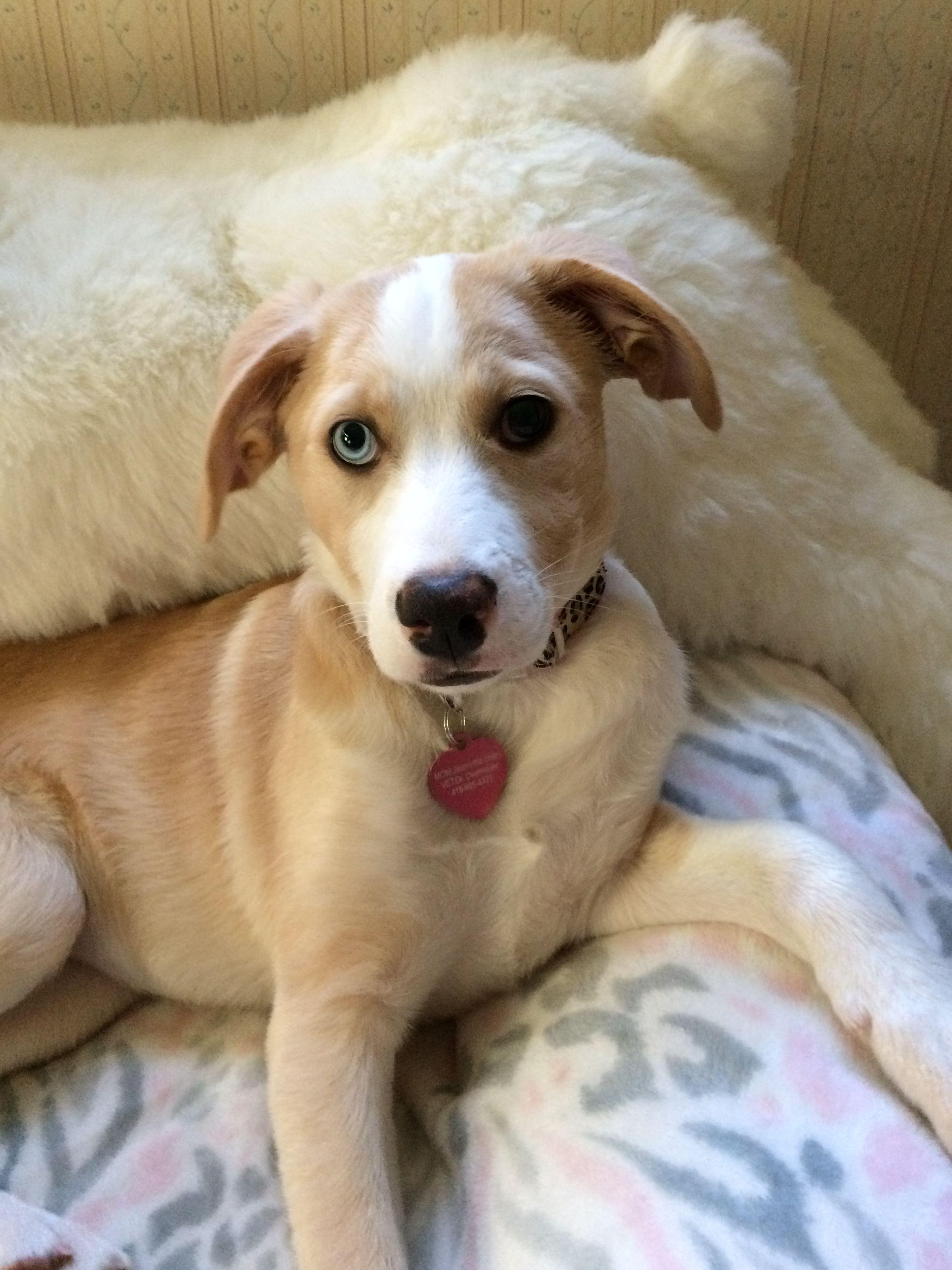 Small Of Husky Beagle Mix