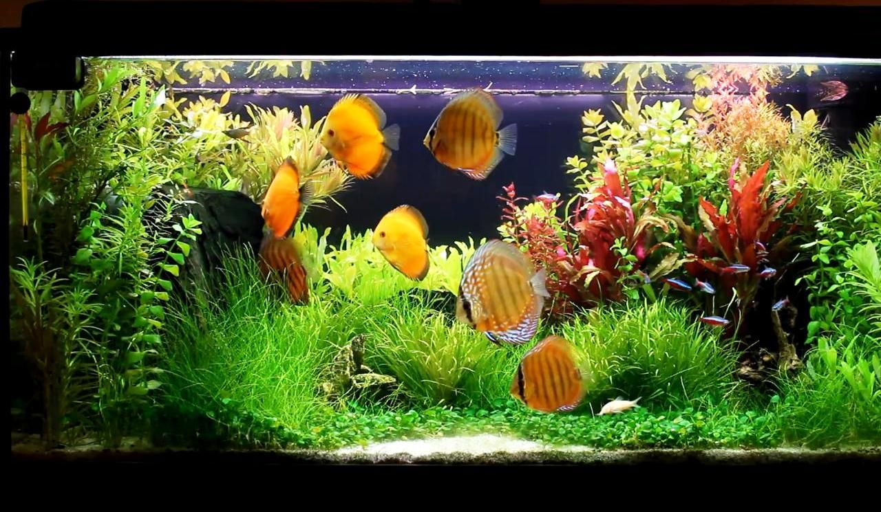 Freshwater aquarium fish with red eyes - Discus Fish Varieties Fish Species N 3 Discus Symphysodon Discus