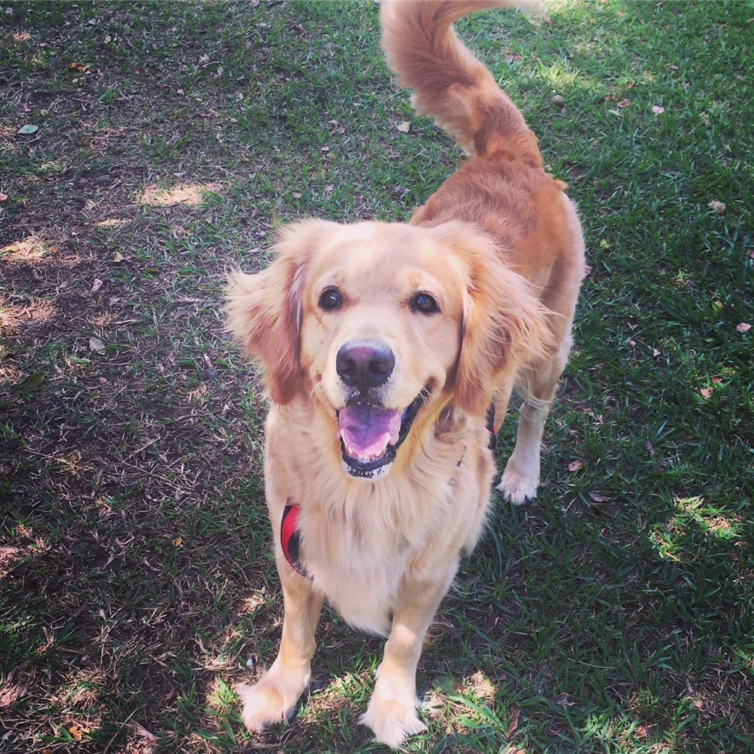 30 Best Dog Names For Gorgeous Golden Retrievers Pictures