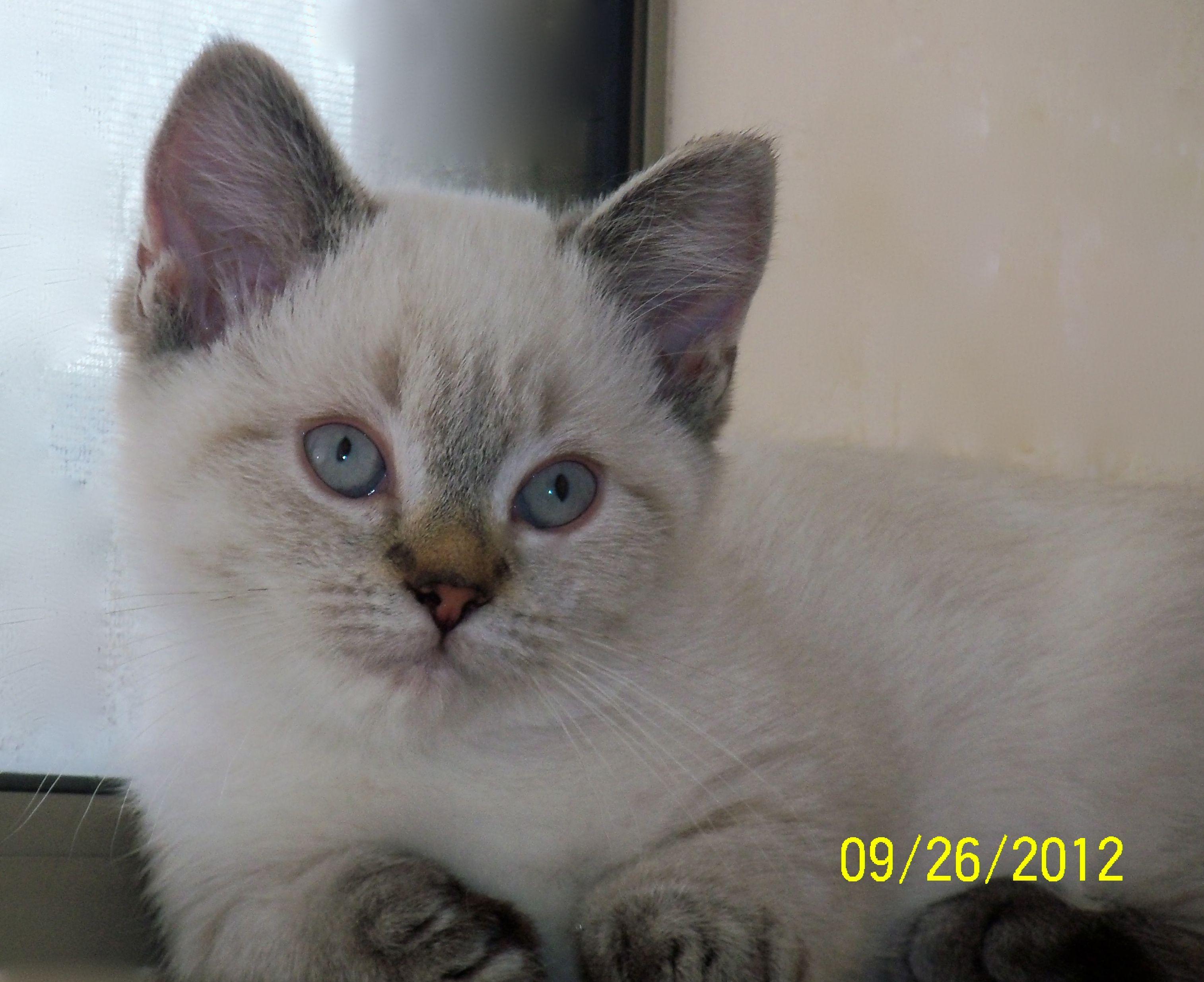 Nova - Seal Lynx Point kitten born to Willow - Standard Napoleon
