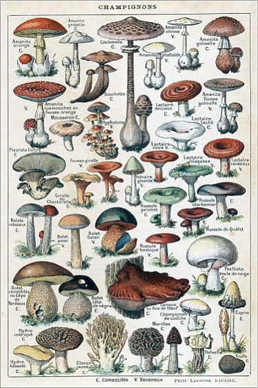 Mushrooms Larousse 1913