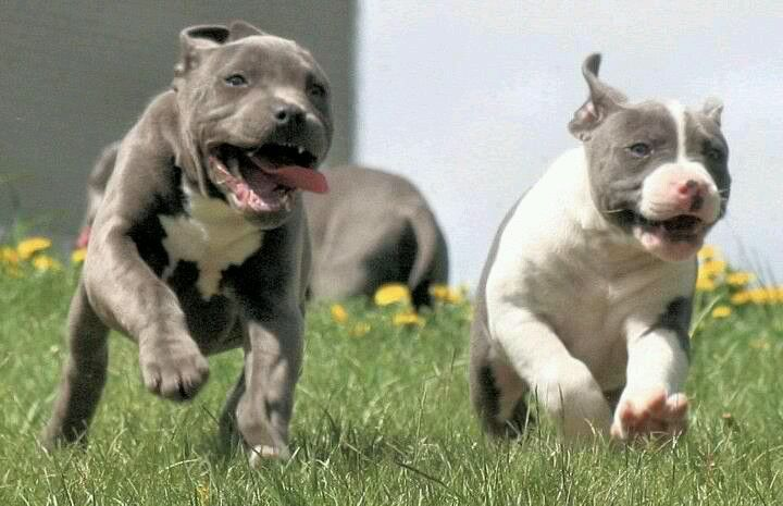 Running Wild And Free Pitbulls Pit Puppies Dogs Puppies