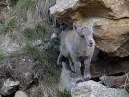 ibex baby cute - Google Search
