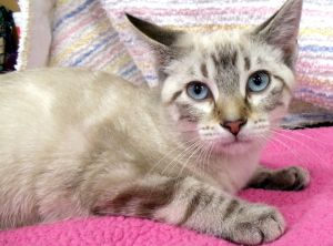 Ralphie Is An Adoptable Siamese Cat In Dallas Tx My Name Is Ralphie And Of Course I M Part Of The Happy Days Gang I M A Swee Siamese Cats Kittens