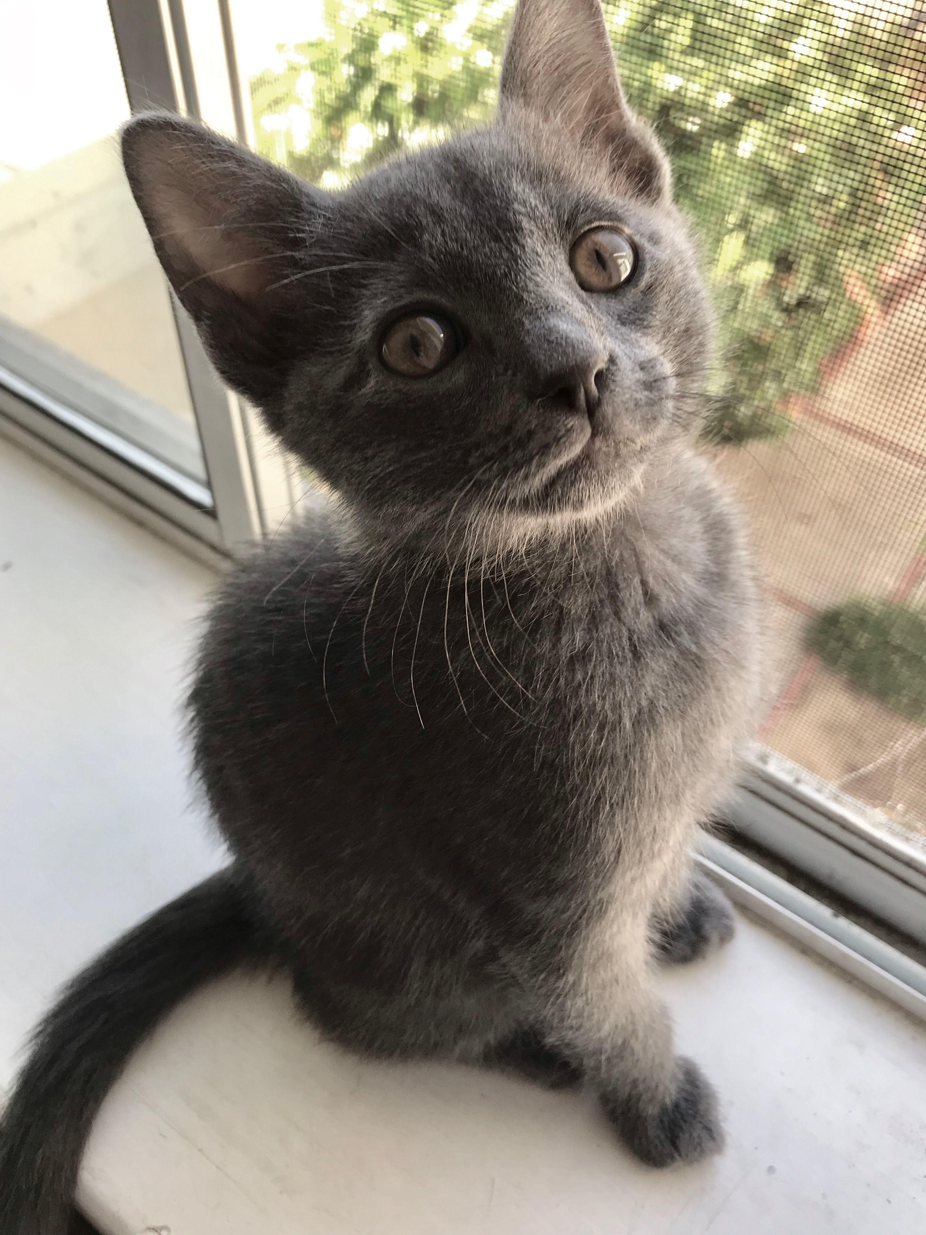 Fully Coated Black Roan Lykoi Kitten Podrick From Greymoonlykoi Lykoi Kitten Black Coat