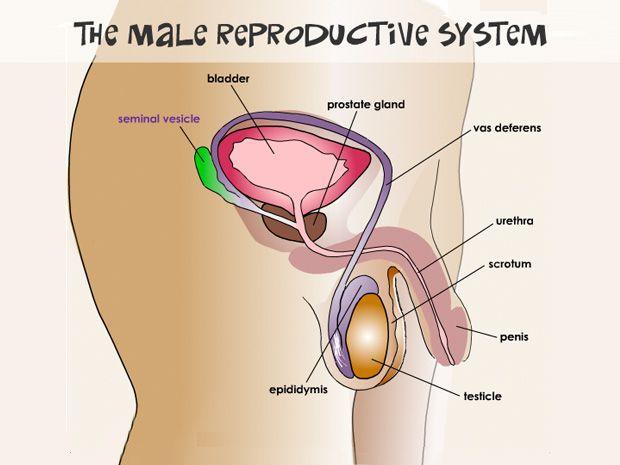 Image Result For Male Genital Diagram Parenting Pinterest Exam
